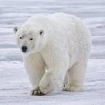 Study Finds Robust Polar Bear Population In Chukchi Sea