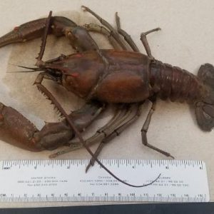 Massive crayfish found at BGMU water intake plant