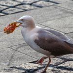 Seagull Dive Bombs Pizza Eating Woman at the Beach! ~ CASH {Watch}