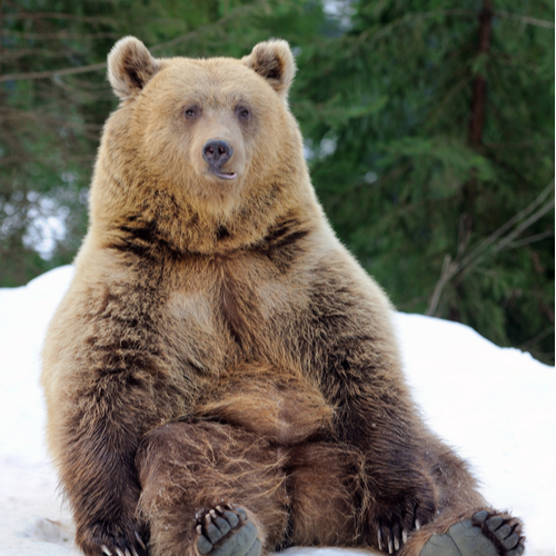bear sitting down