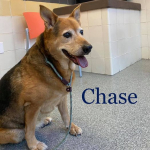 Furry Friday: Chase is a Senior Hound/Shephard Mix at Chesapeake Animal Services Who Needs a Home