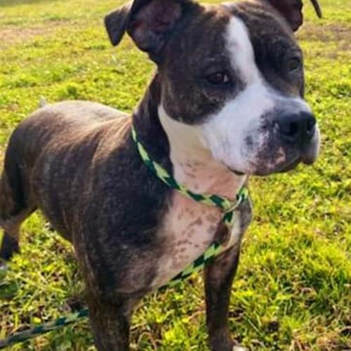 Furry Friday: Sasha is a 7-Year-Old Pit Pull Up For Adoption at Norfolk Animal Care