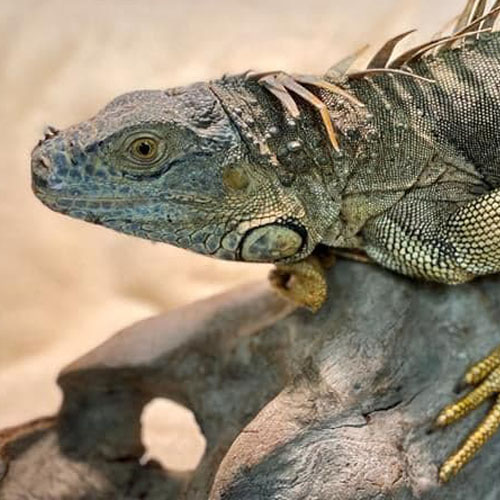 Iguana 500