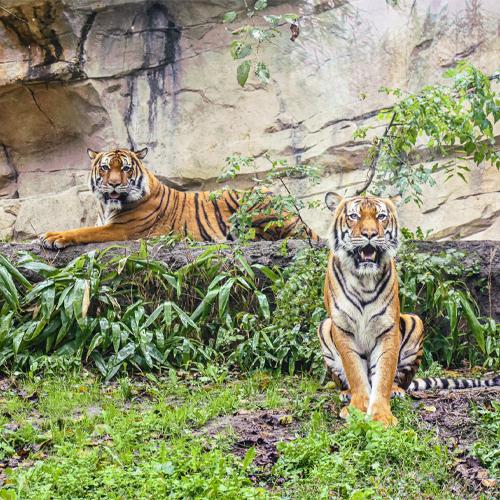Zoo Tigers 500