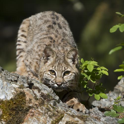 bobcat small