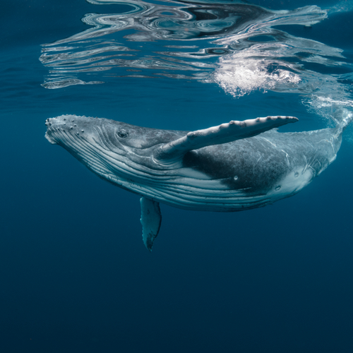 Lonely giant Humpback Whale Sings his heart out in hopes of landing a girlfriend. ~ CASH {Watch}