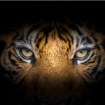 There's a Tiger on the loose in Houston, Texas. Yes, you heard right, Tiger! ~ CASH {Watch}