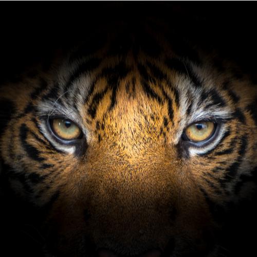 tiger short