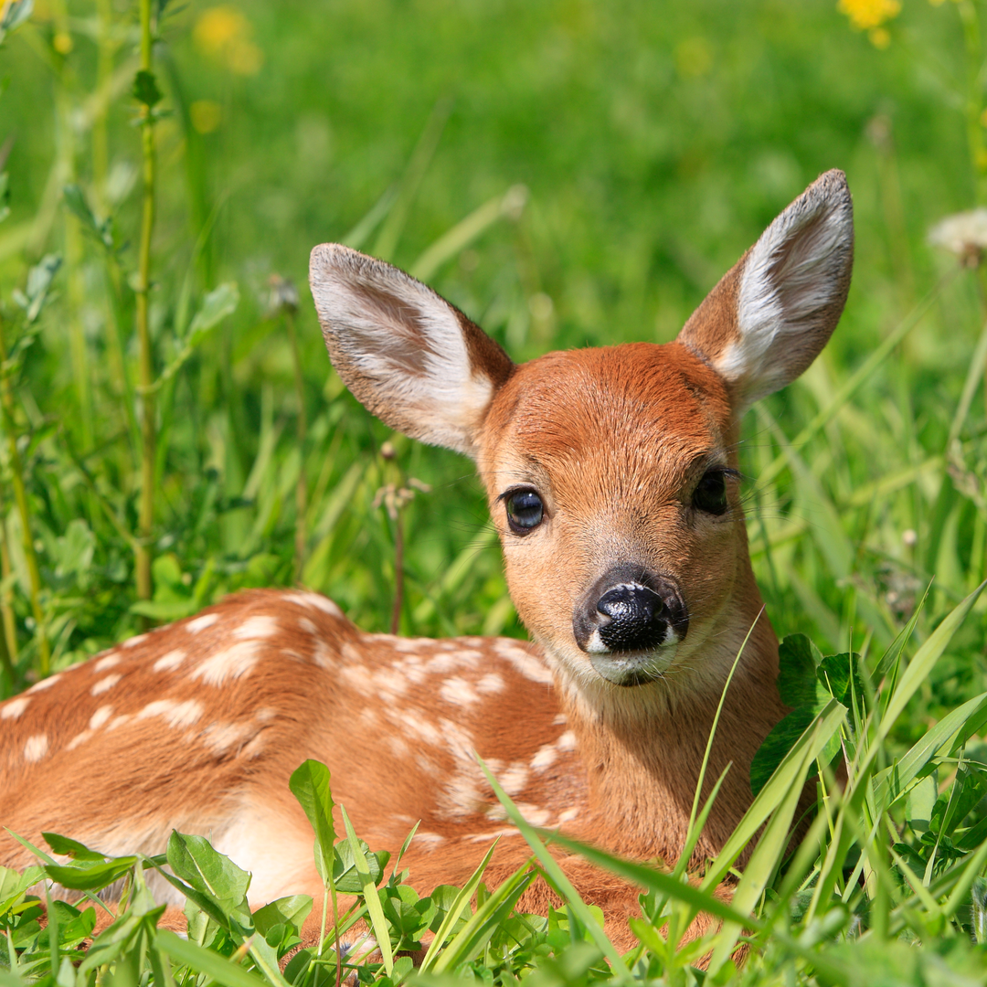 Cat and Baby Deer Play Together in Video Straight Out of a Disney Movie {WATCH}