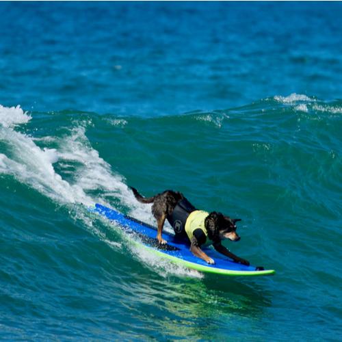 dog surfing short