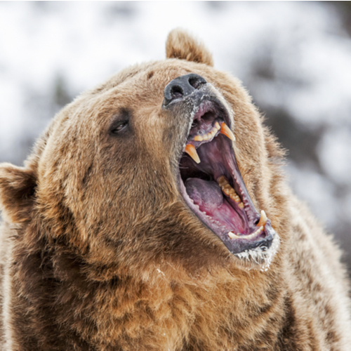 bear with mouth