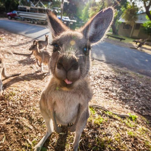 kangaroo short