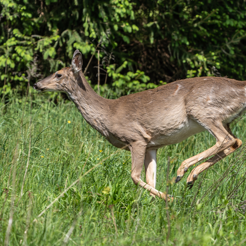 deer short