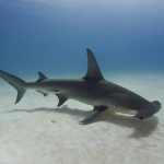 Guy films Hammerhead Shark race toward a man standing in shallow water. {Watch}