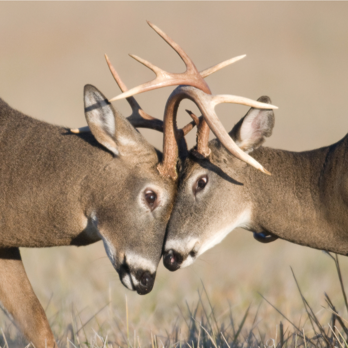 Zoom Doorbell camera catches a couple of deer fighting over food. {Watch}