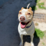 Shriner is a 9-Year-Old Pointer/Pit Mix Who Needs a Home!
