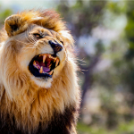 Lion's warning roar is enough to send anyone running for their life. {Watch}