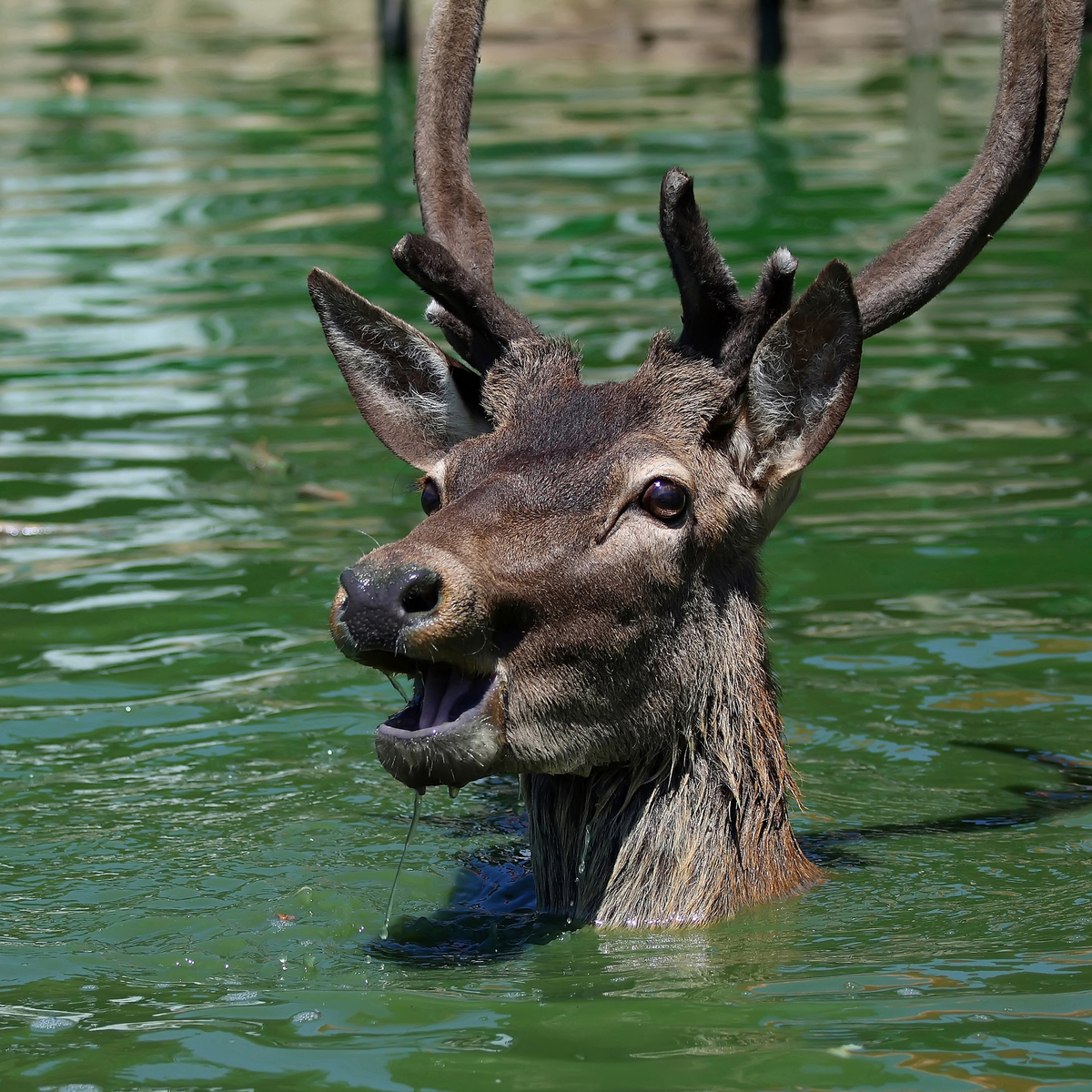 Daredevil Deer takes a 50-foot plunge off waterfall and walks away unphased. {Watch}
