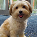 Molly is a 7-year-old Maltese/Yorkie Mix Up For Adoption with Saver of Souls Pet Rescue