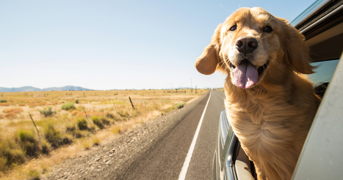 "Golden Retriever Singing 'Drivers License' Goes Viral: ""Somebody Put Her in the Remix"" [VIDEO]"