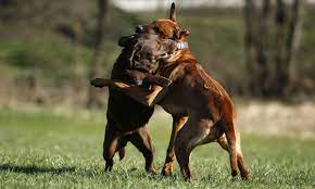 Three Sentenced For Roles In Interstate Dog Fighting Network