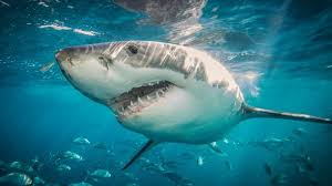 Record Number Of Sharks Off California Coast