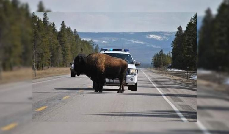 Montana Police Blast AC/DC to Move Bison From Blocking the Highway