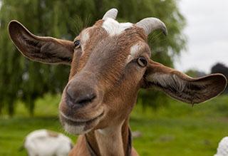 Nothing Says Valentines like.. Goats?!