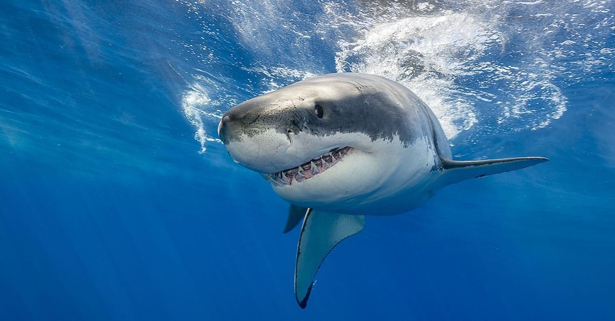 Watch: Giant Shark Circles Florida Man's Boat