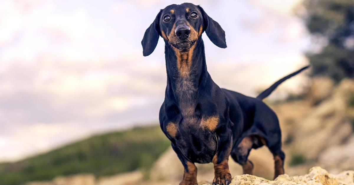 Germany Opens Museum Devoted Entirely to Wiener Dogs