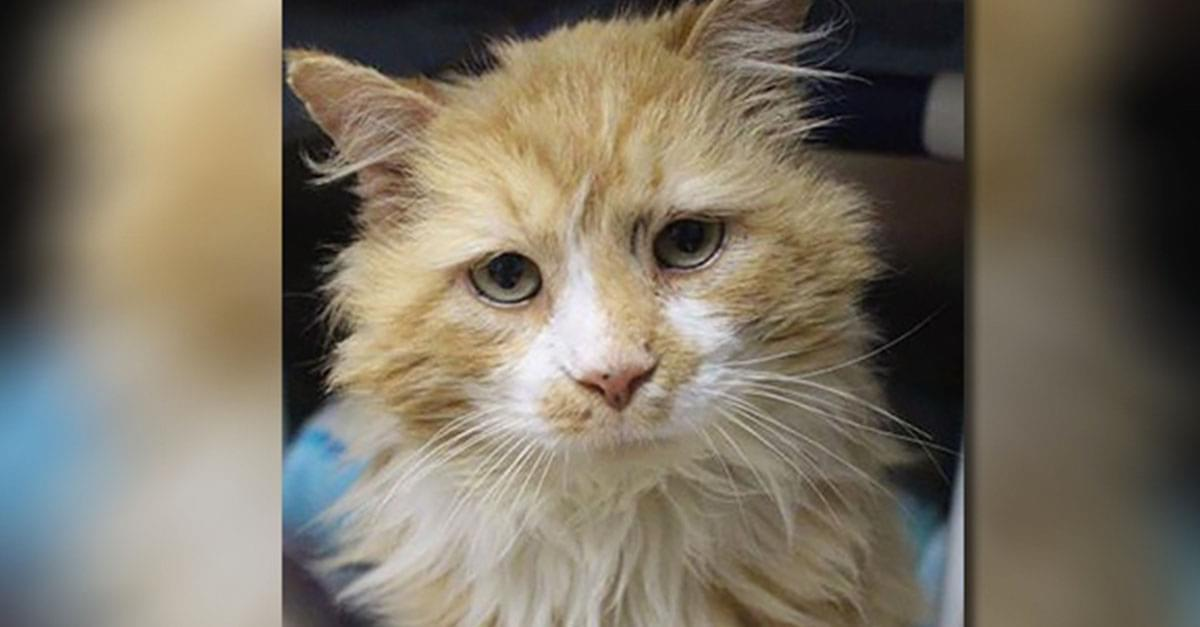 Cat that Walked 12 Miles Home to be Rejected finds New Home