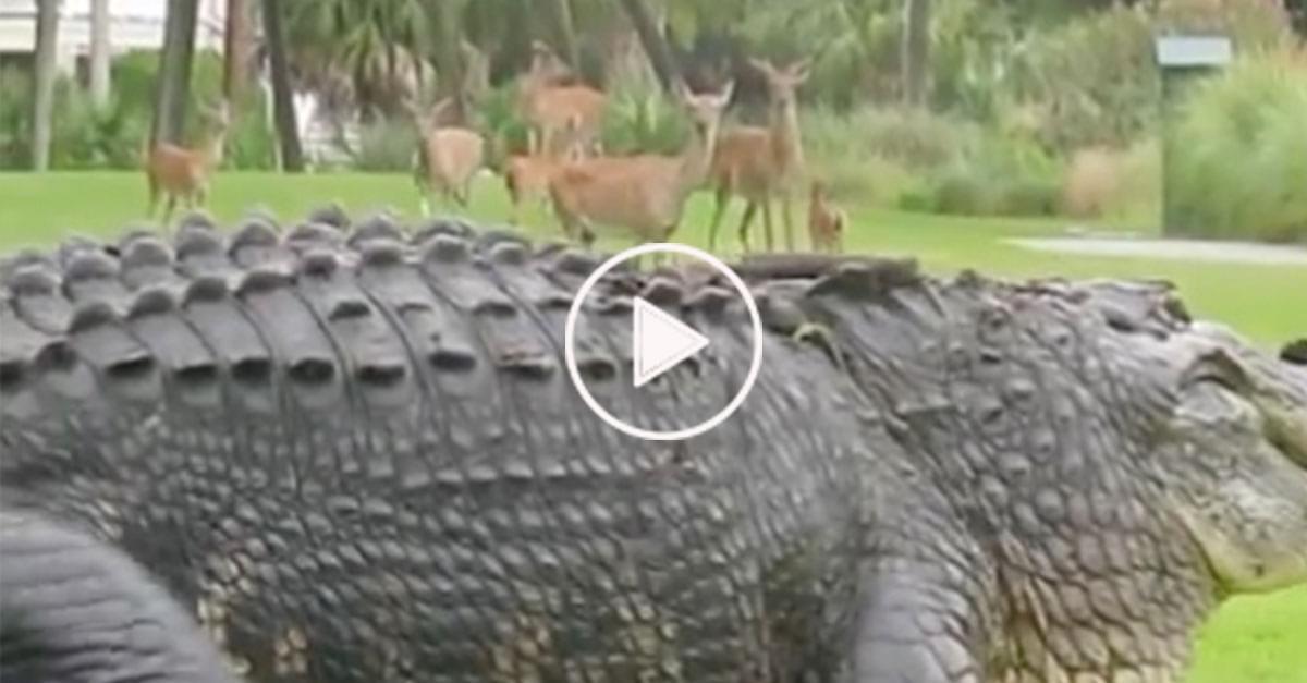 Watch: Alligator vs Deer on Golf Course