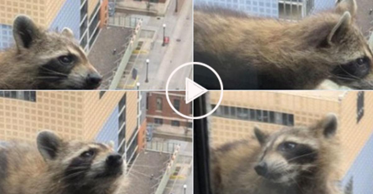 Watch: Raccoon Scales Skyscraper