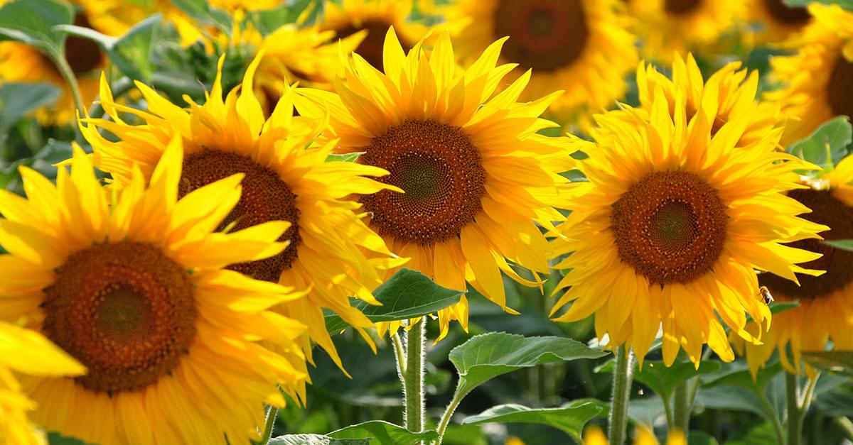 Looking for Sunflowers? Find them at Dix Park!