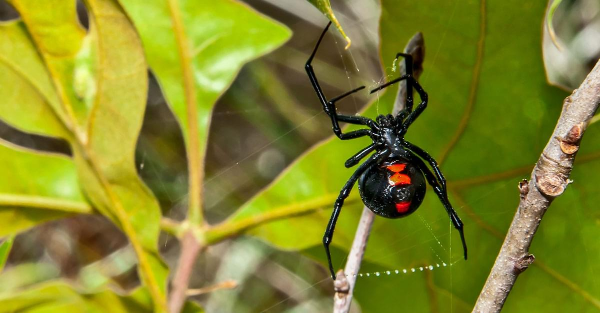 OMG! Clayton Woman Finds Black Widow in Grapes
