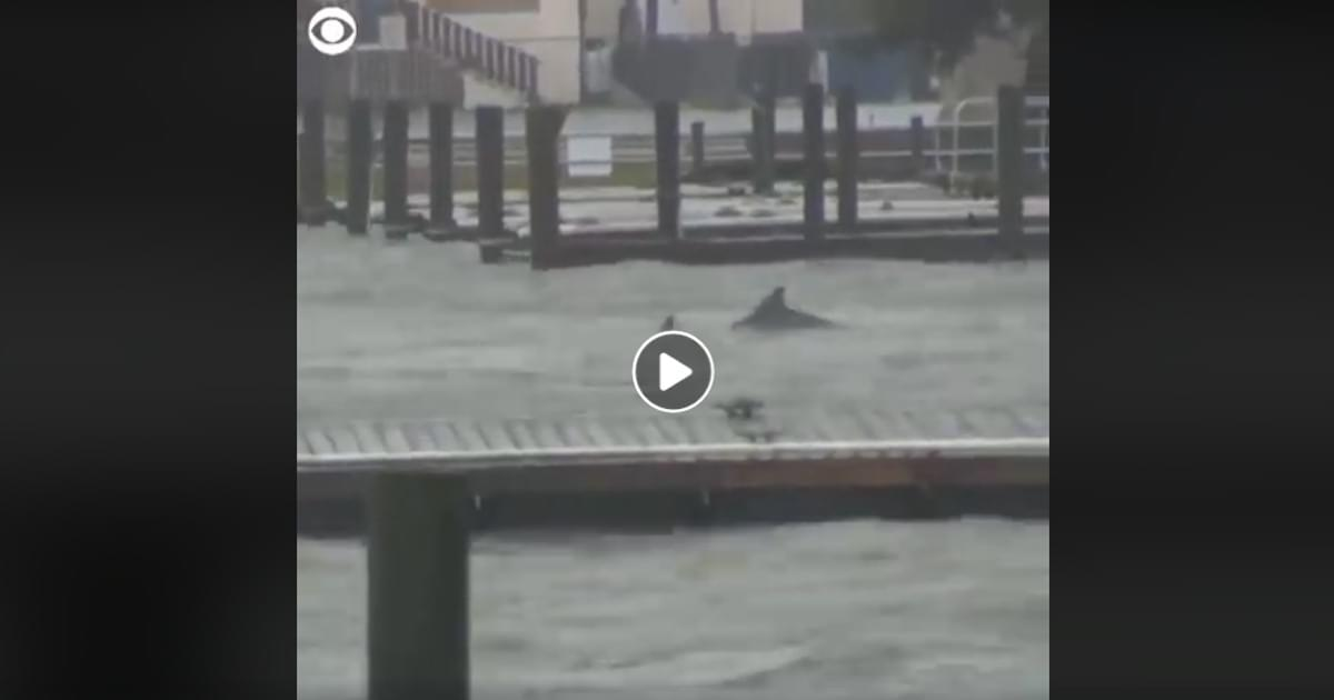 WATCH: Dolphins Frolic in Flood Waters