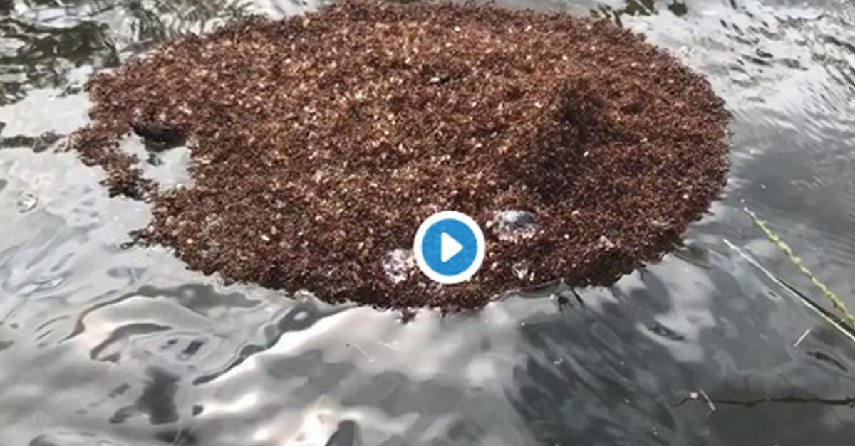 Fire Ant Island