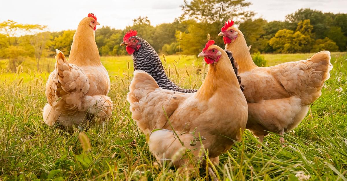 Think Twice before Dressing up Pet Chickens for Halloween, CDC Warns