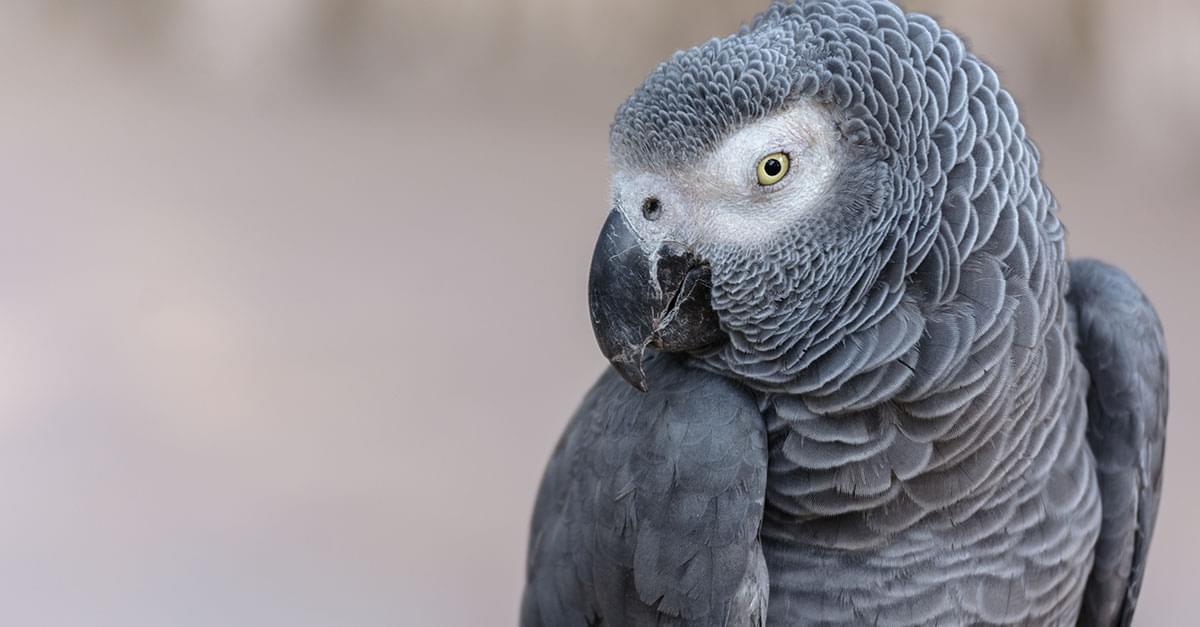 Parrot Uses Amazon's Alexa To Order Snacks