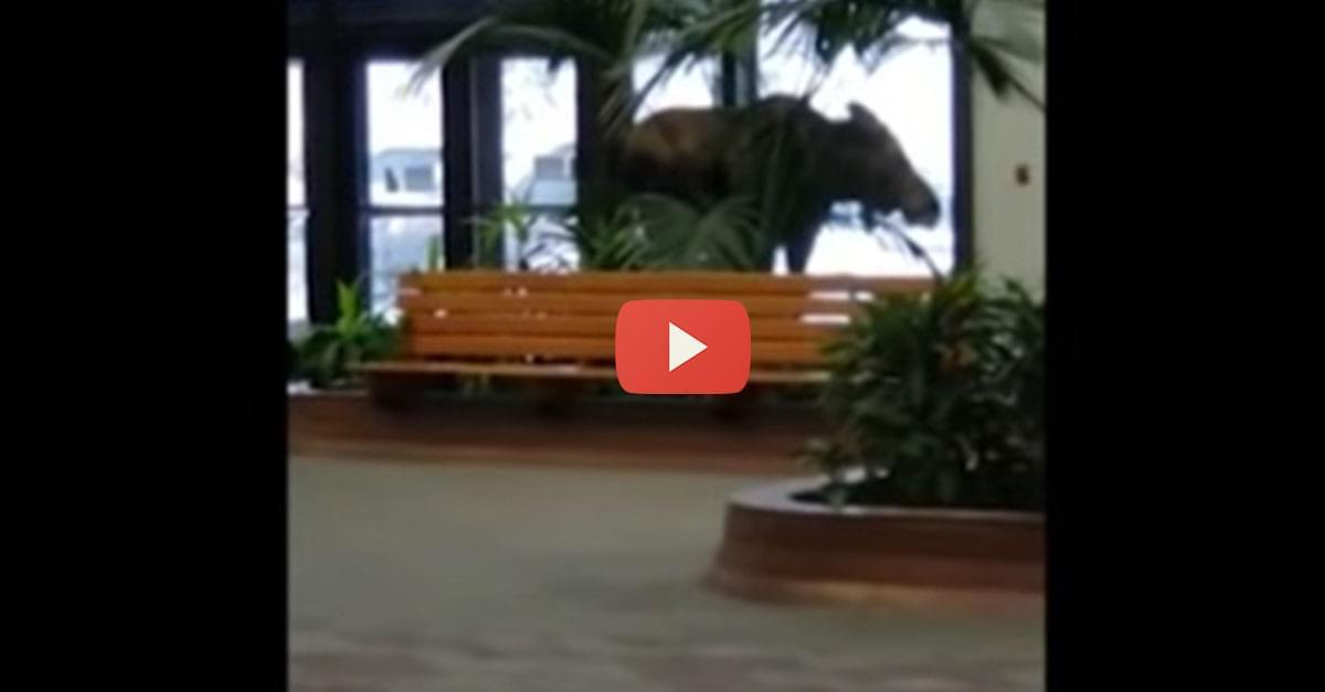 Watch: Moose Wanders Into Alaska Hospital
