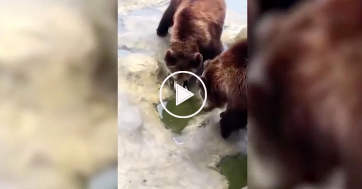 Watch: Tourist Accidentally Throws iPhone to Bears at Zoo Mistaking it for Food