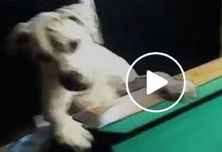 Dog Plays Pool