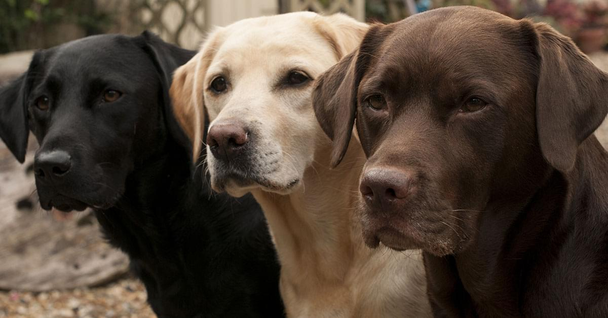 This dog breed is the most popular in US for 28th year