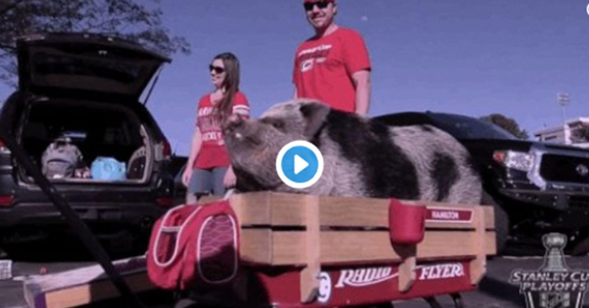 Hamilton the Pig is Carolina Hurricanes Fans Good Luck Charm