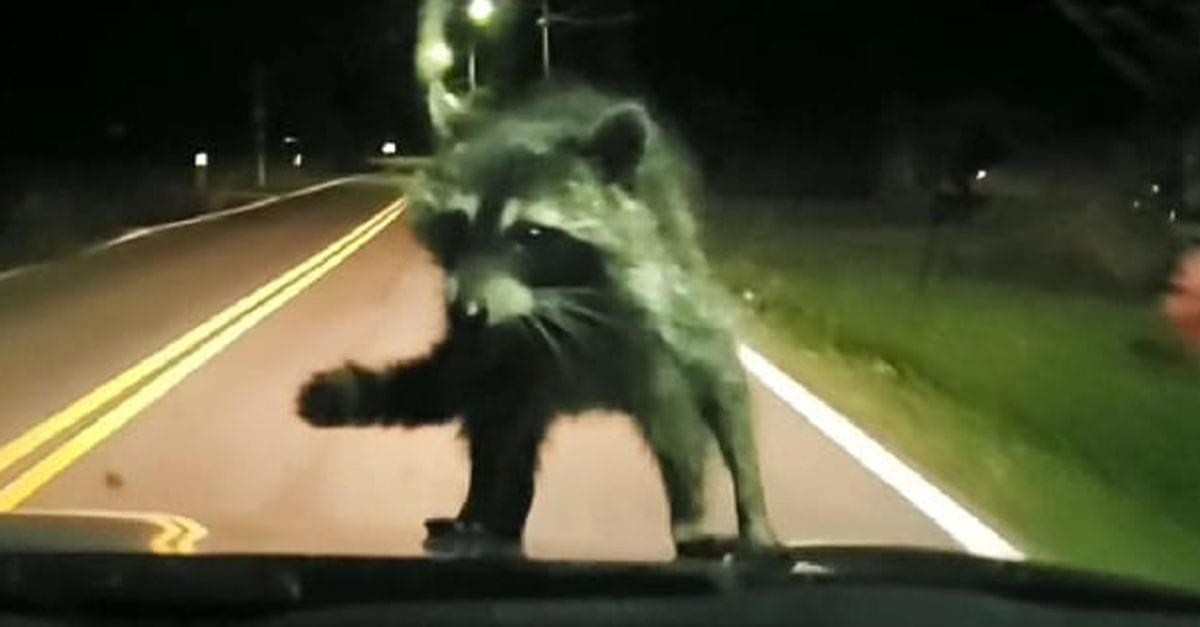 Raccoon Goes on a Wild Ride