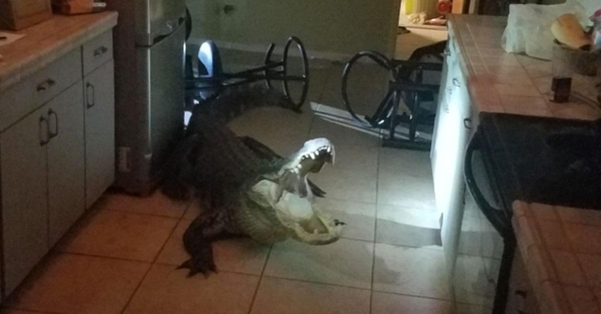 Watch: Alligator Breaks Into Woman's Kitchen