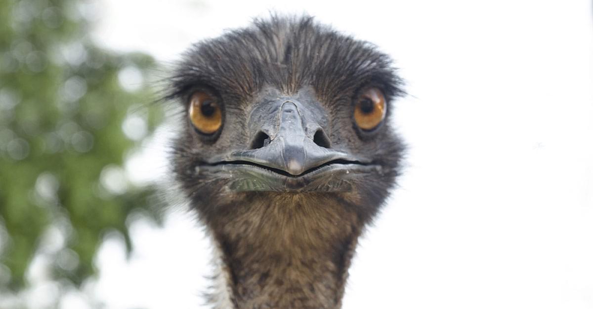 Loose Emu in NC Last Seen on Hood of Car