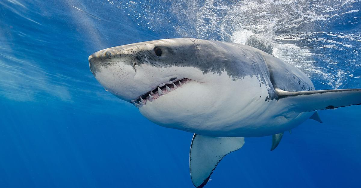 9 Great White Sharks Show Up Near Carolinas