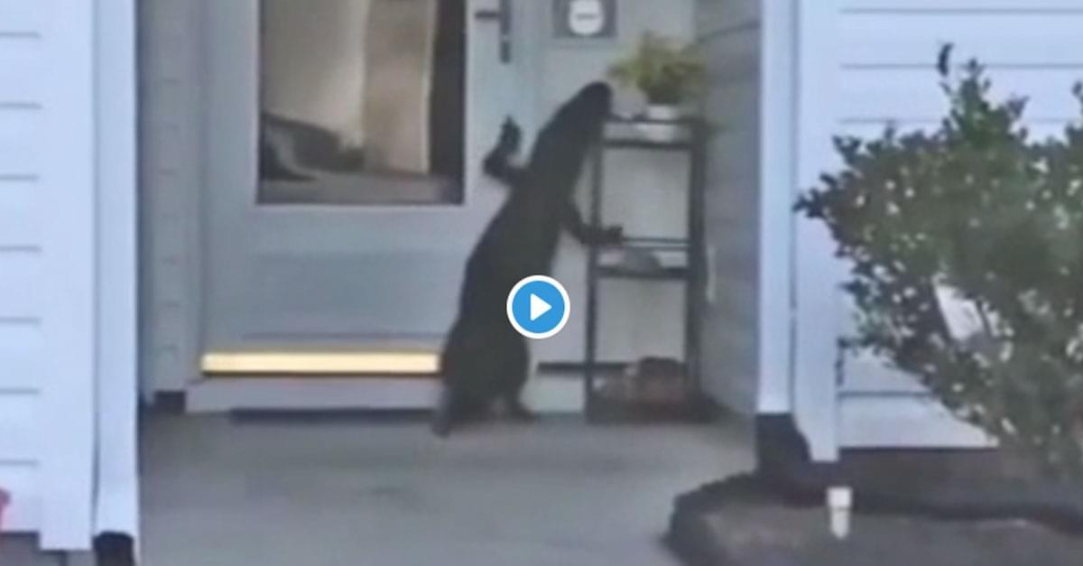 Watch: Alligator rings doorbell at Myrtle Beach home