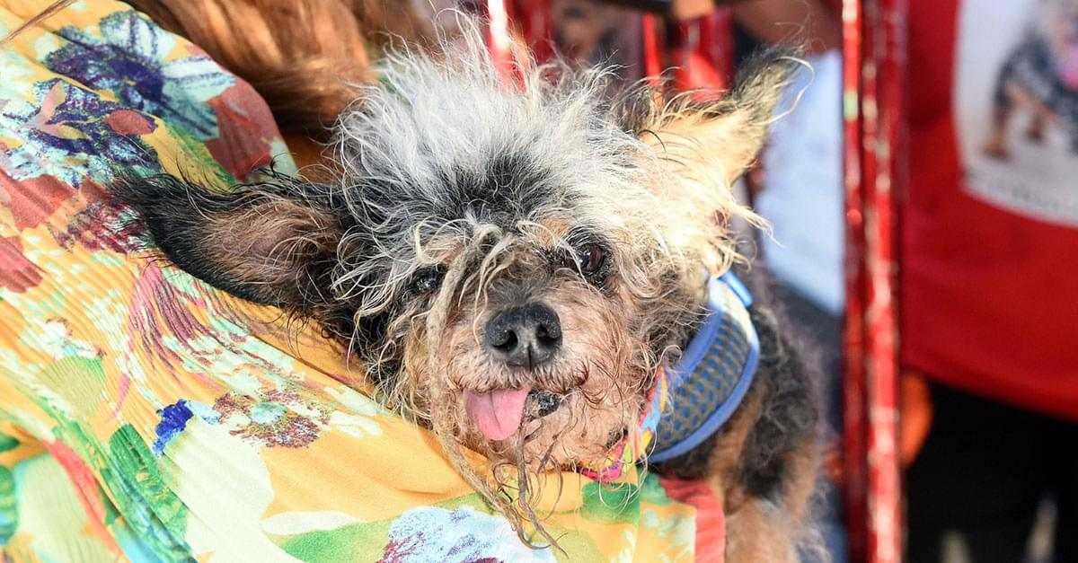'Scamp the Tramp' Wins World's Ugliest Dog Contest